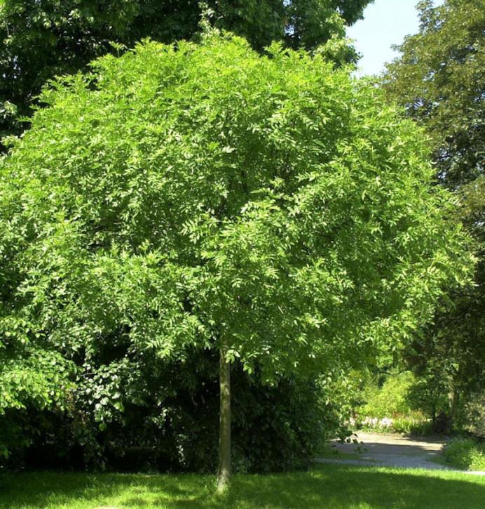 Hochstamm Kugel Esche Grüne Kugel 100-125cm - Fraxinus
