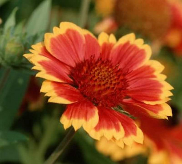 Korkadenblume Tokayer - Gaillardia grandiflora