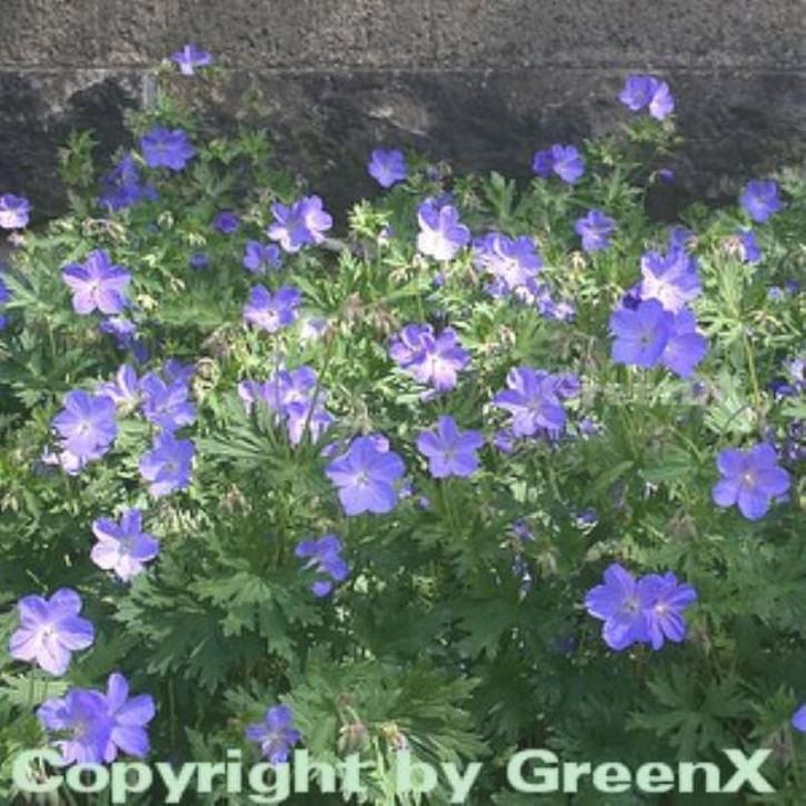 Wiesenstorchschnabel Johnsons Blue - Geranium pratense