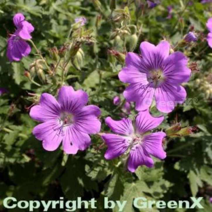 Storchschnabel Sirak - Geranium Gracile