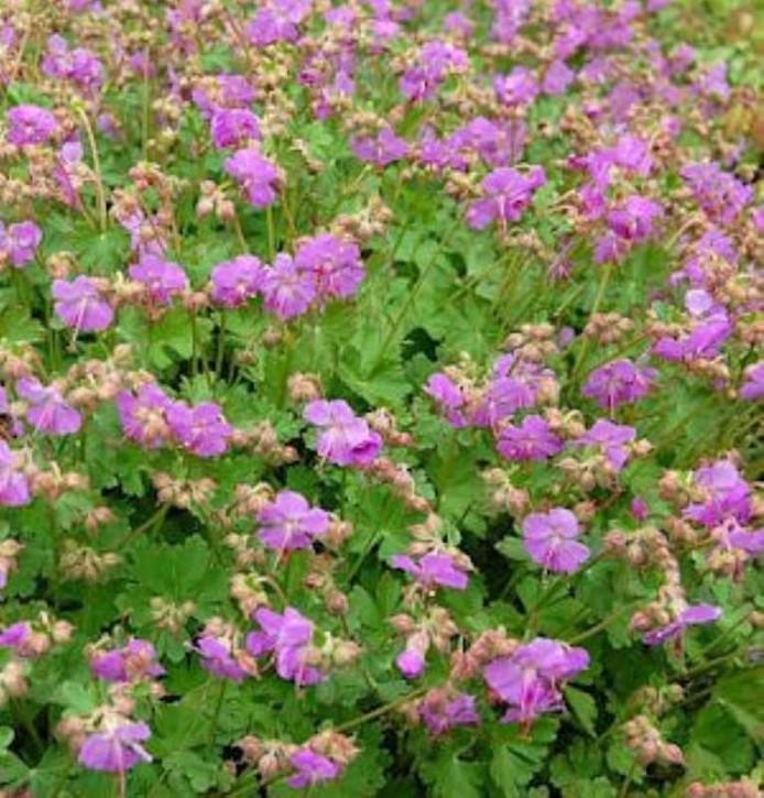 Storchenschnabel Karmina - Geranium cantabrigiense