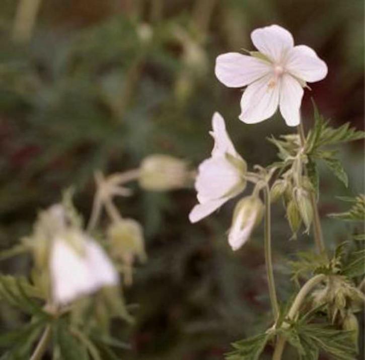 Storchenschnabel Saint Ola - Geranium cantabrigiense