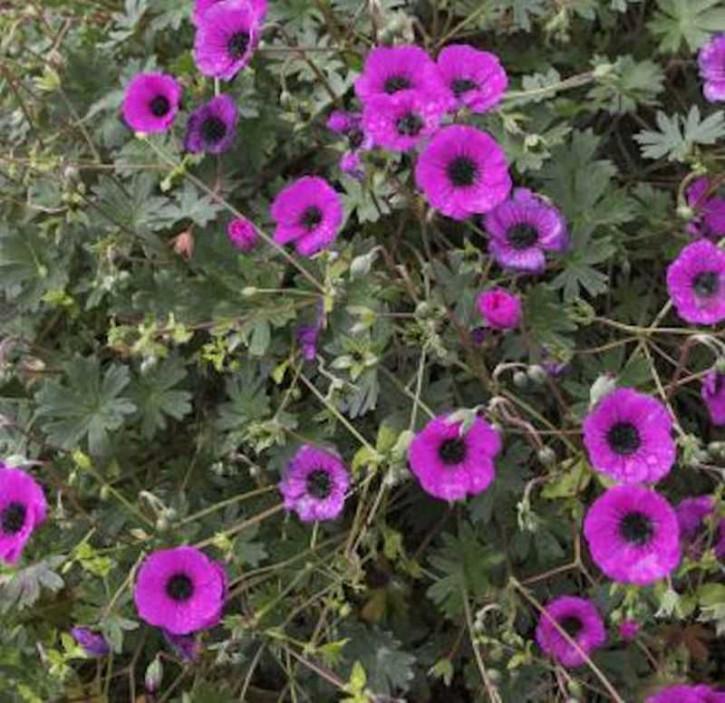 Storchenschnabel Splendens - Geranium cinereum