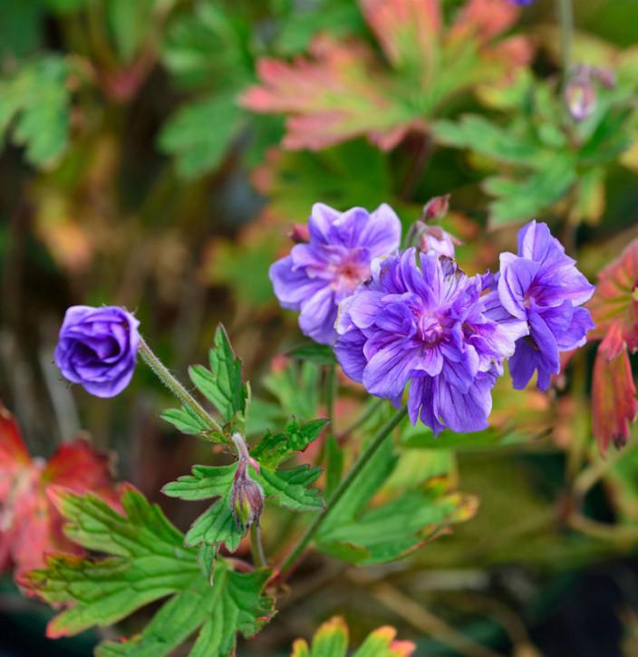Himalayastorchschnabel Plenum - Geranium himalayense