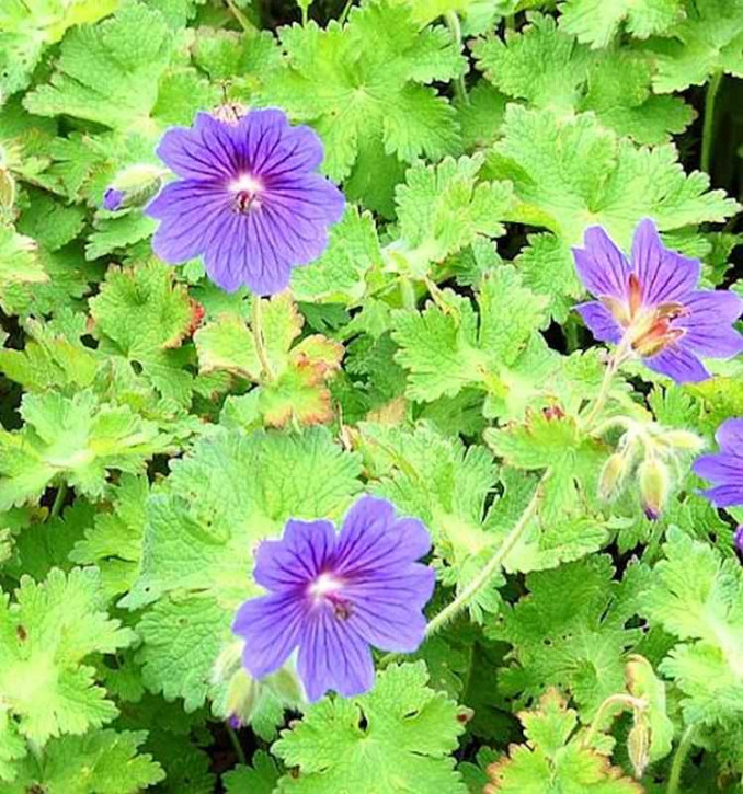 Blauviolett Storchenschnabel - Geranium ibericum