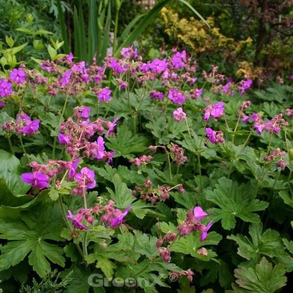 Balkanstorchschnabel - Geranium macrorrhizum