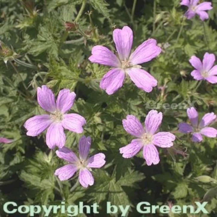 Storchenschnabel Claridge Druce - Geranium oxonianum