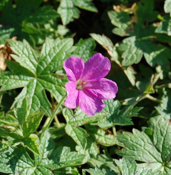Oxford Storchenschnabel Rödbylund - Geranium oxonianum