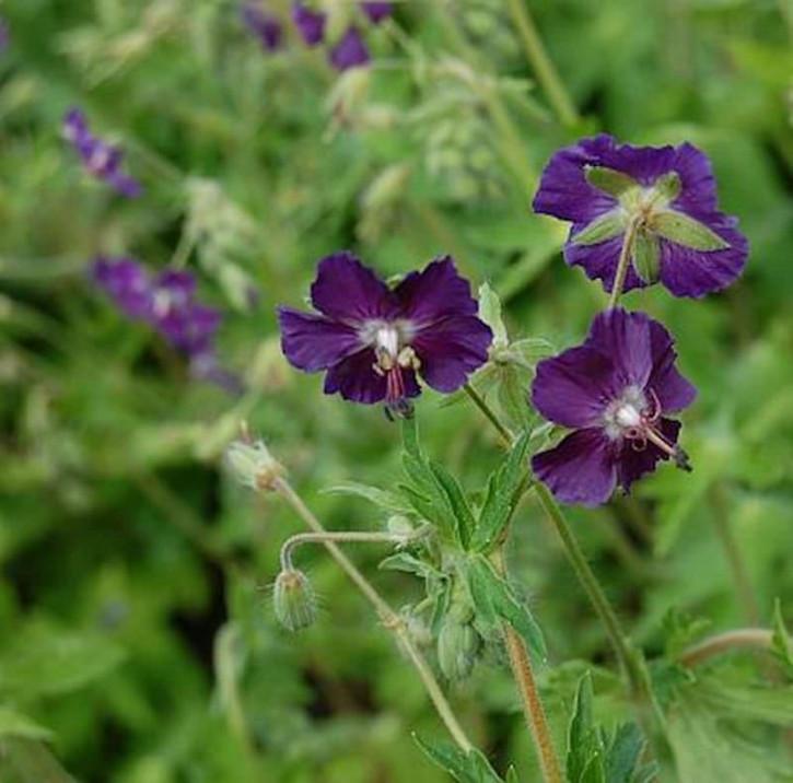 Storchenschnabel Lilly Lovell - Geranium phaeum