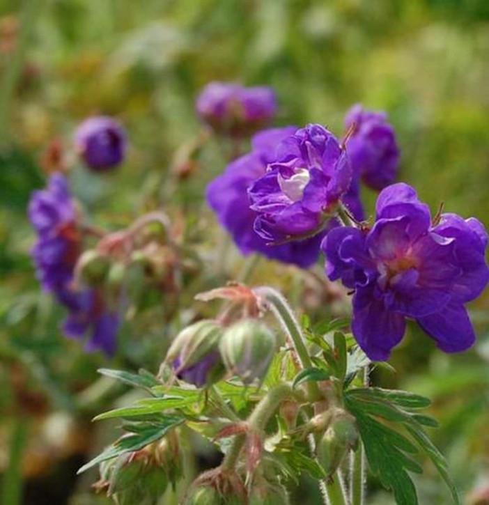 Wiesenstorchschnabel Plenum Violaceum - Geranium pratense