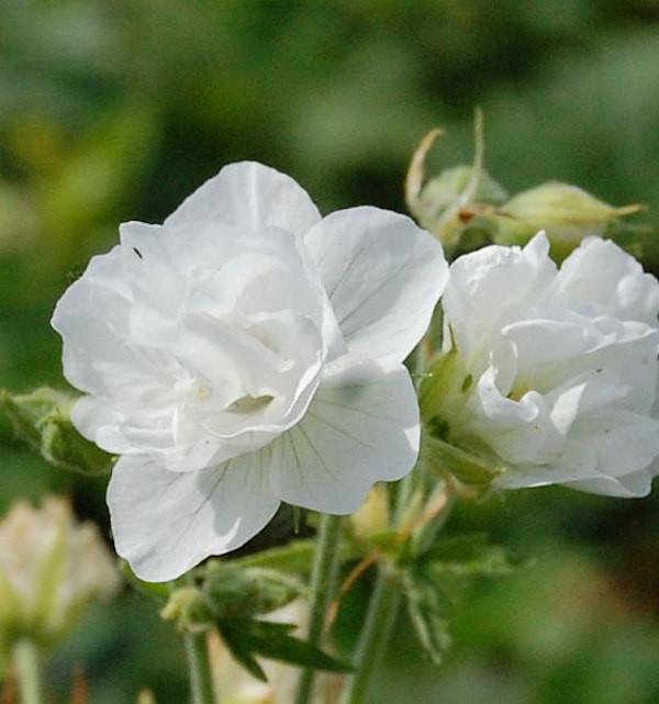 Wiesenstrochschnabel Weiß - Geranium pratense