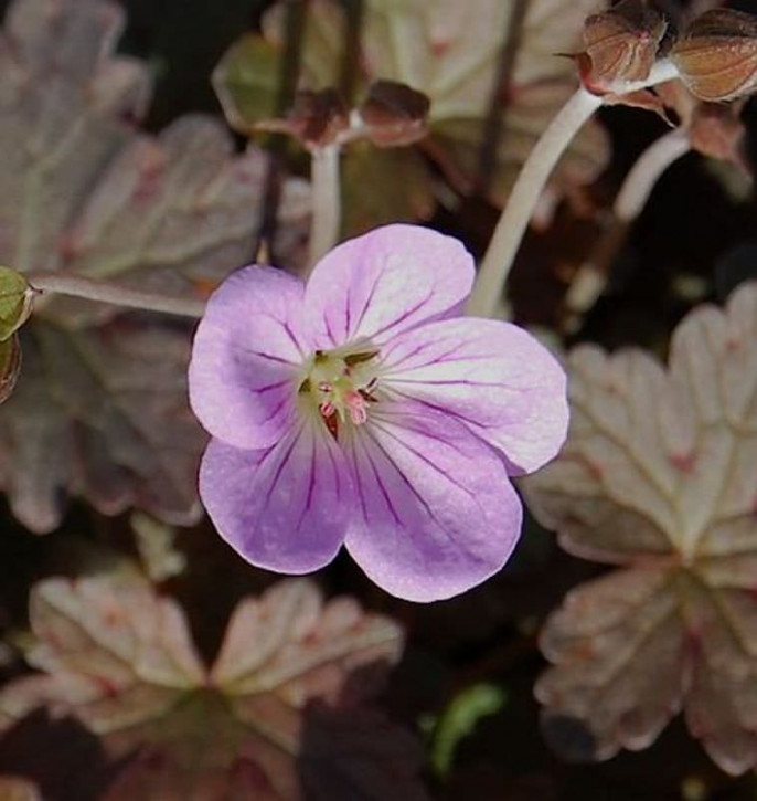 Storchschnabel Sue Crug - Geranium procurrens