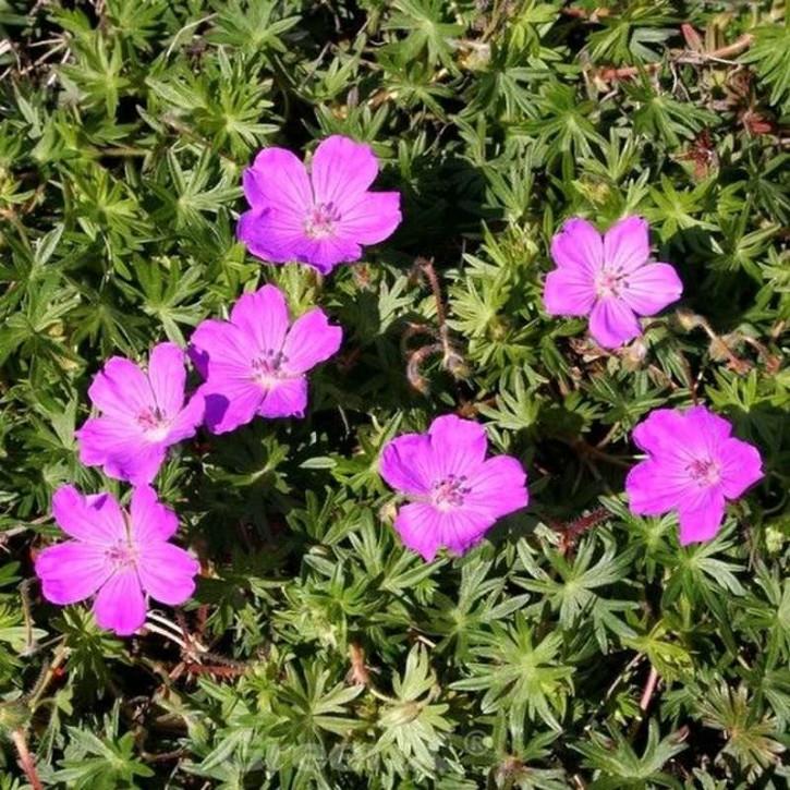 Storchenschnabel Inverness - Geranium sanguineum