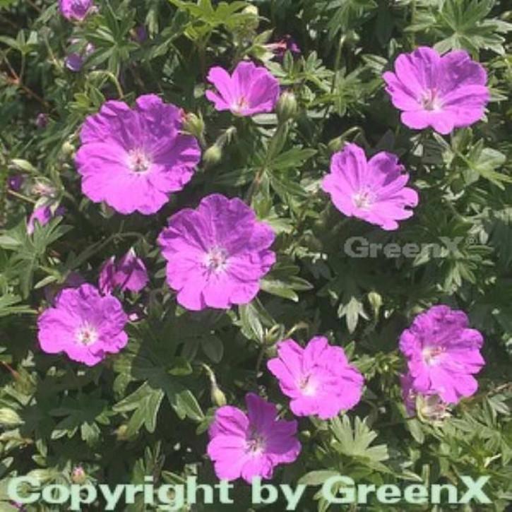 Storchenschnabel Max Frei - großer Topf - Geranium sanguineum
