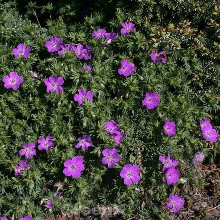 Storchenschnabel New Hampshire Purple - großer Topf - Geranium sanguineum