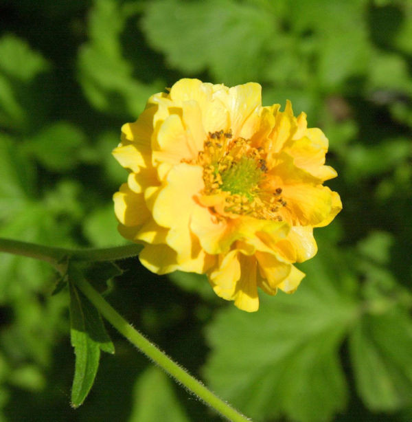 Nelkenwurz Goldball - Geum chiloense