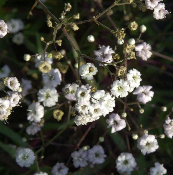 Riesenschleierkraut Bristol Fairy - Gypsophila Paniculata