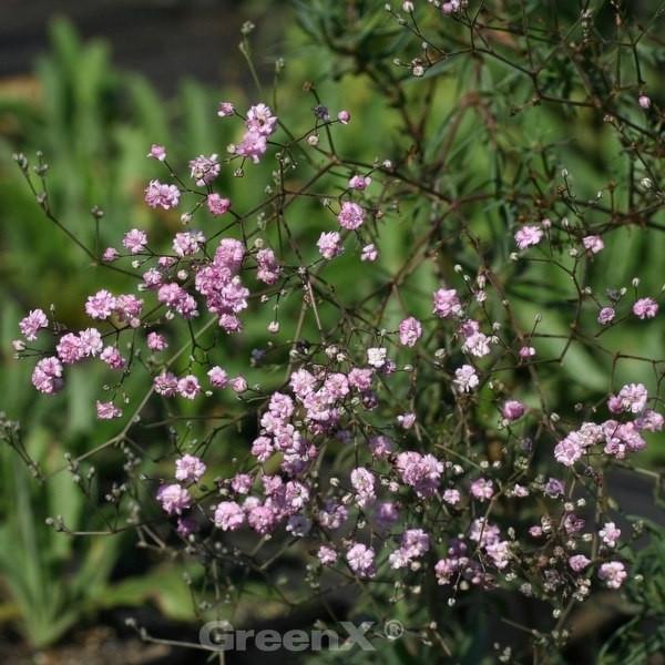 Riesenschleierkraut Maytime - Gypsophila Paniculata