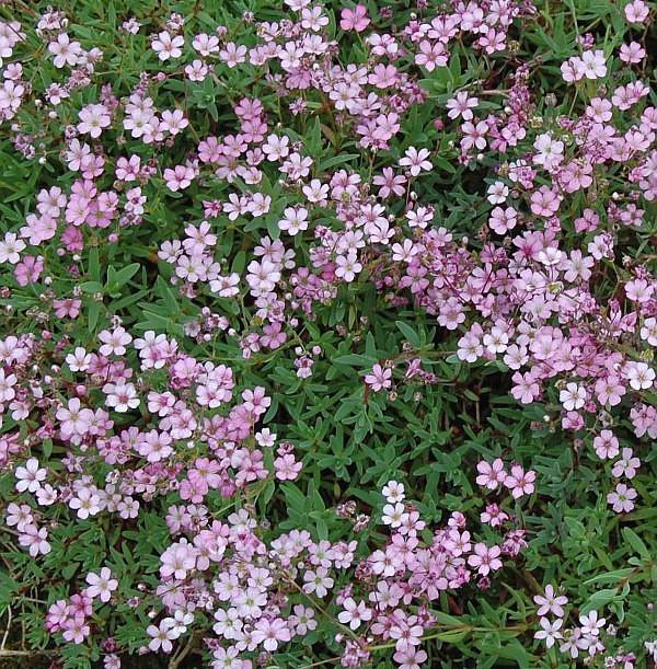 Kriechendes Schleierkraut Rosa Schönheit - Gypsophila repens
