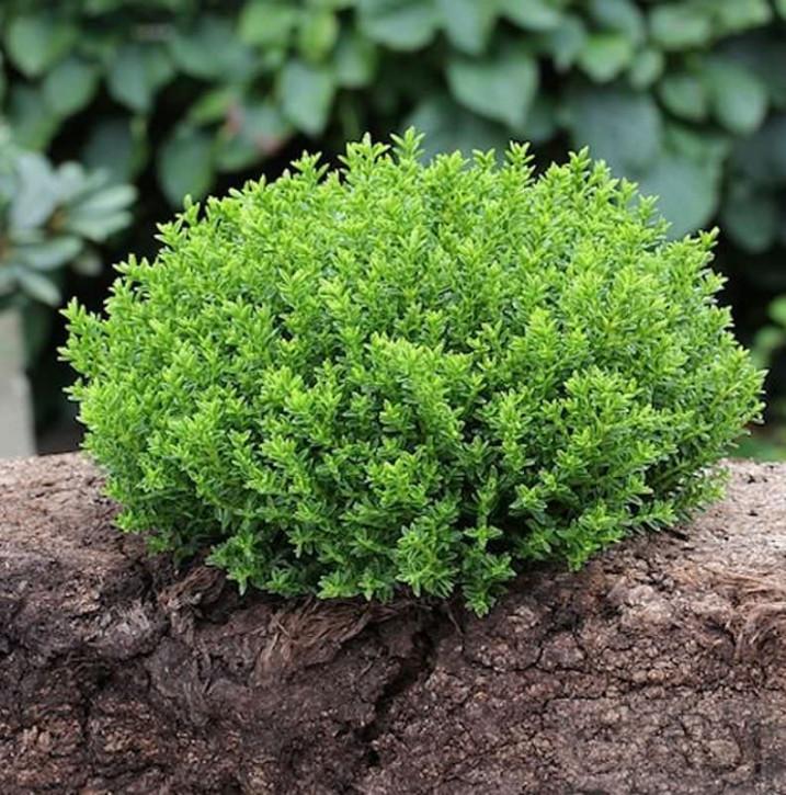 10x Strauchveronika Green Globe - Hebe