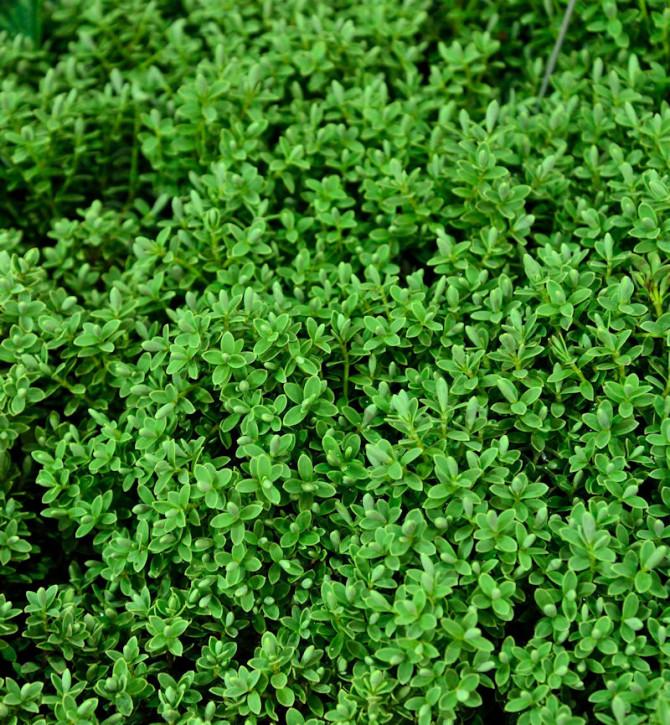10x Hebe Sutherlandii - Hebe topiaria