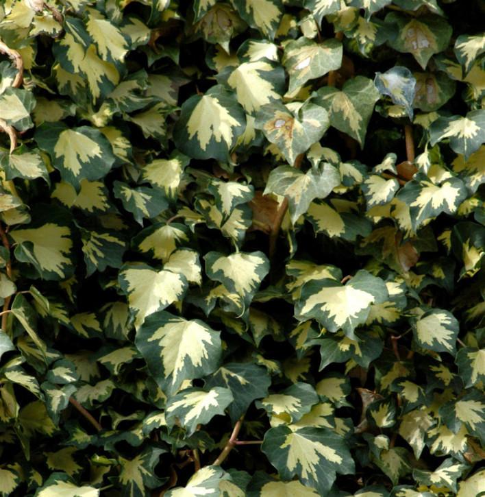 Gelbbunter Efeu - Kletterkünstler für grüne Wände