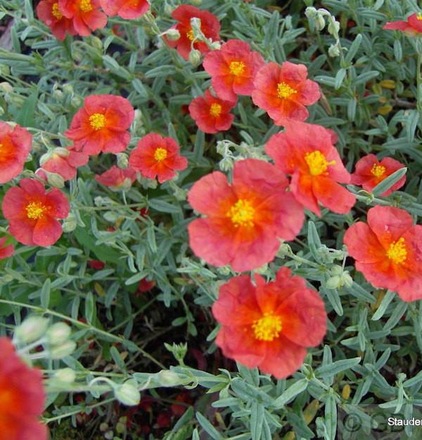 Sonnenröschen Hartswood Ruby - Helianthemum cultorum