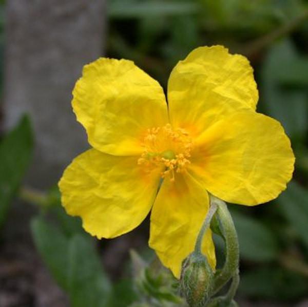 Großblumiges Sonnenröschen - Helianthemum nummularium