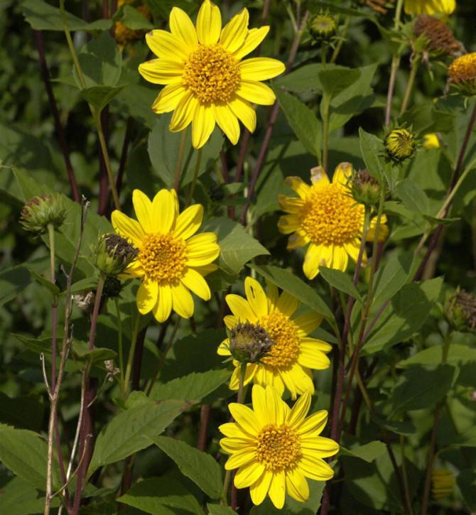 Sonnenblume Meteor - Helianthus decapetalus