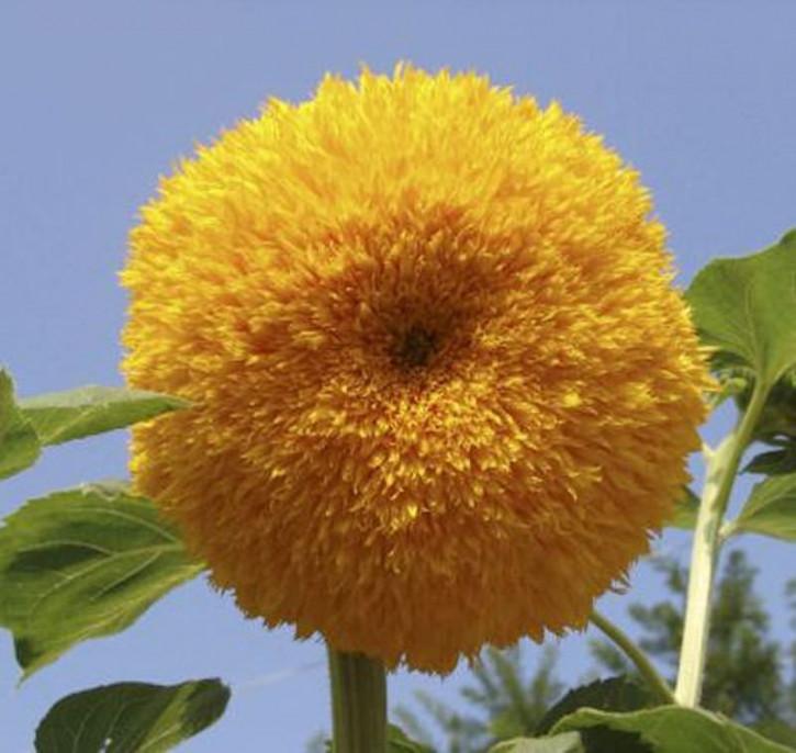 Gefüllte Sonnenblume - Helianthus decpetalus