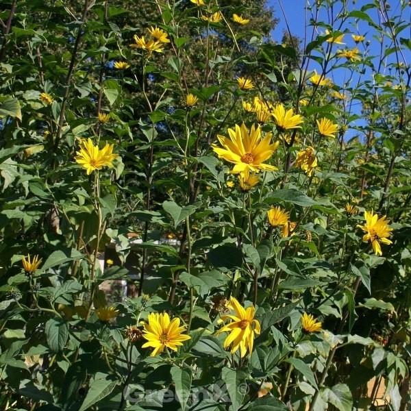 Sonnenblume Kellermann - Helianthus kellermanii