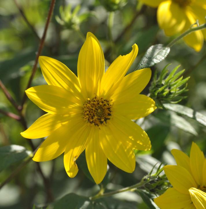 Kleinköpfige Stauden Sonnenblume - Helianthus microcephalus