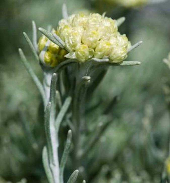 Italienische Strohblume - Currystrauch - Helichrysum italicum