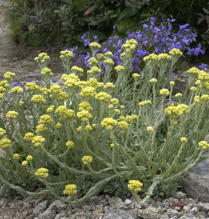 Südafrika Strohblume - Helichrysum splendidum