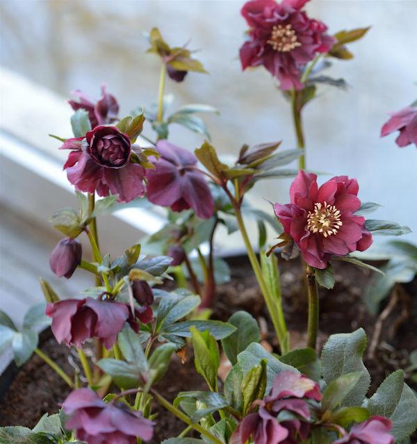 Christrose Double Purple - Helleborus orientalis