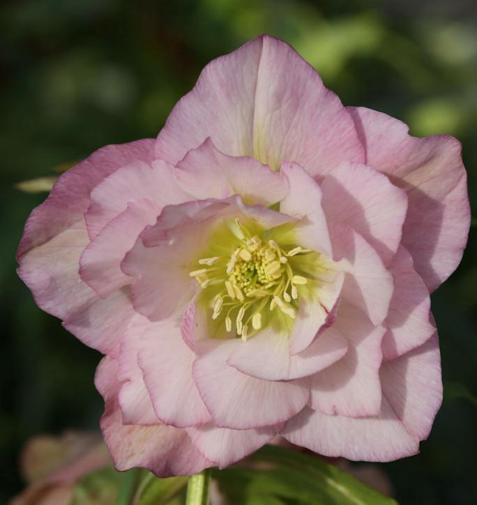 Christrose Lenzrose Double Ellen Pink - Helleborus orientalis