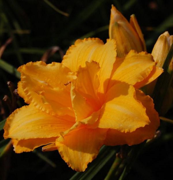 Taglilie Condilla - Hemerocallis cultorum