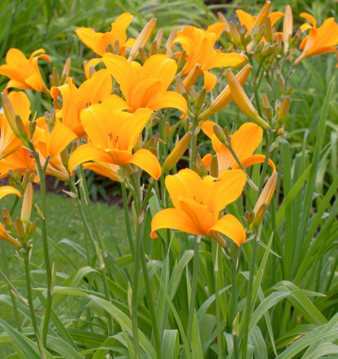 Taglilie Norton Orange - Hemerocallis