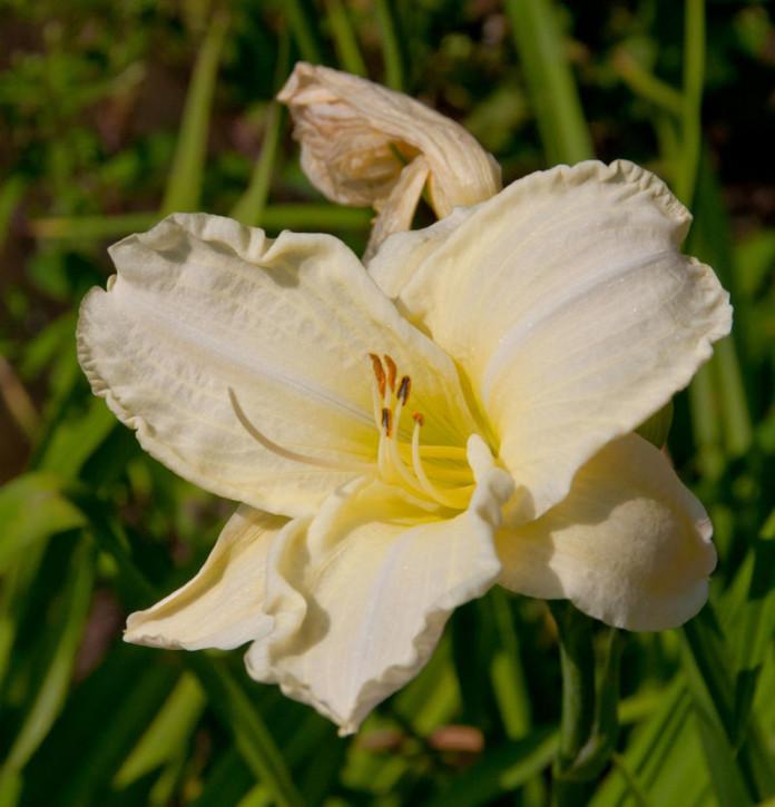 Taglilie White Lemonade - Hemerocallis