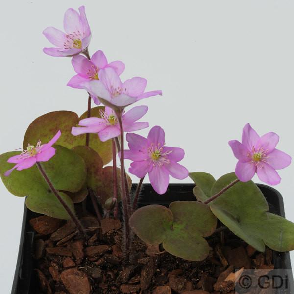 Leberblümchen Pink Forest - Hepatica nobilis