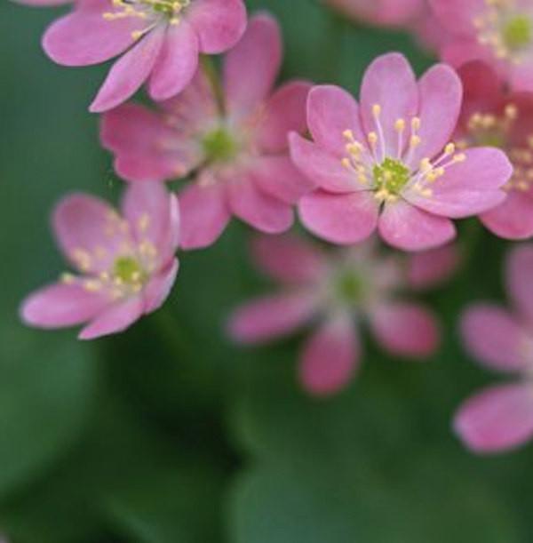 Leberblümchen Rubra - Hepatica nobilis
