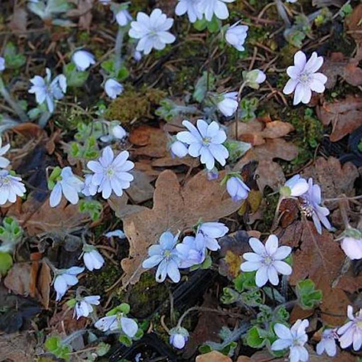 Siebenbürger Leberblümchen  - Hepatica transsilvanica
