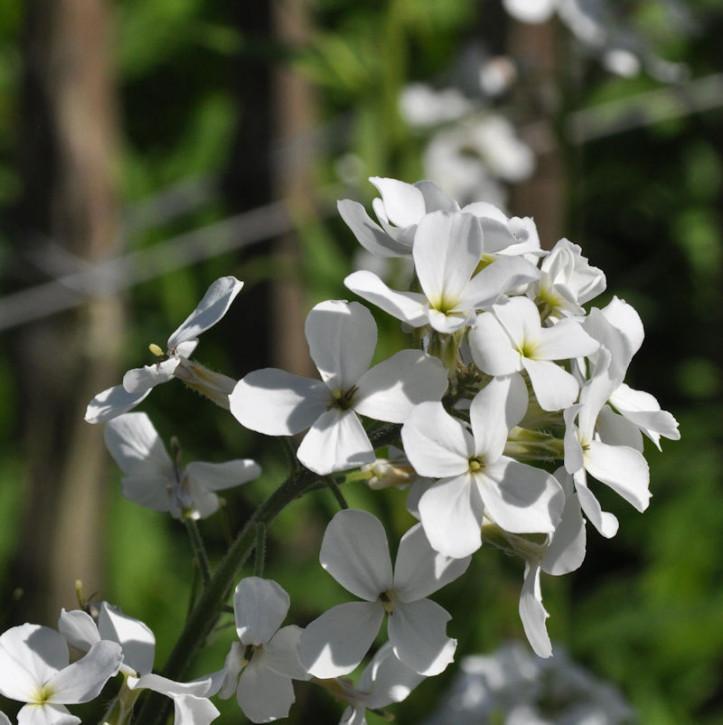 Nachtviole Alba - Hesperis matronalis