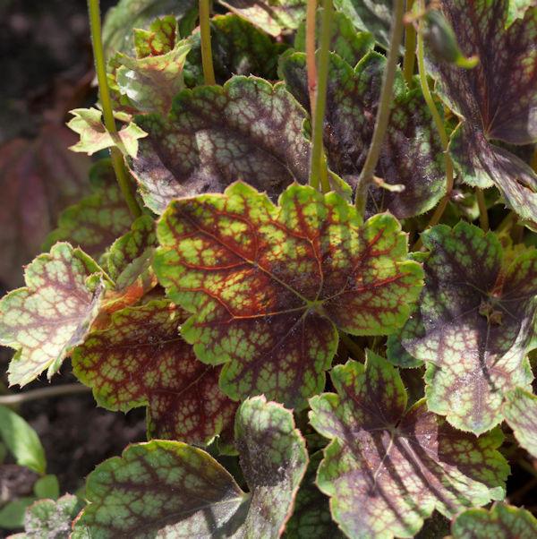 Purpurglöckchen Beauty Colour - Heuchera micrantha