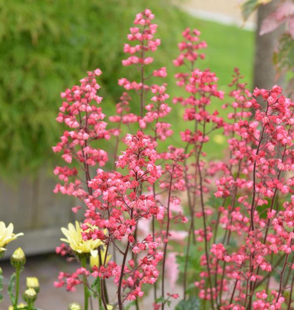 Purpurglöckchen Ruby Bells - Heuchera micrantha