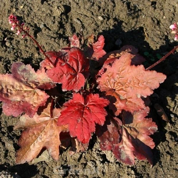 Purpurglöckchen Autumn Leaves - Heuchera micrantha