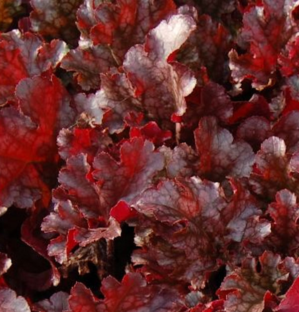 Purpurglöckchen Berry Marmelade - Heuchera micrantha