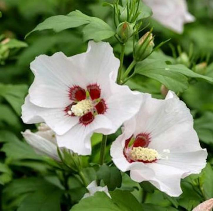 Garteneibisch Mathilda 30-40cm - Hibiscus