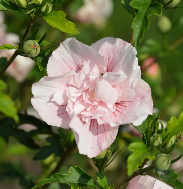 Garteneibisch French Pink Chiffon 40-60cm - Hibiscus