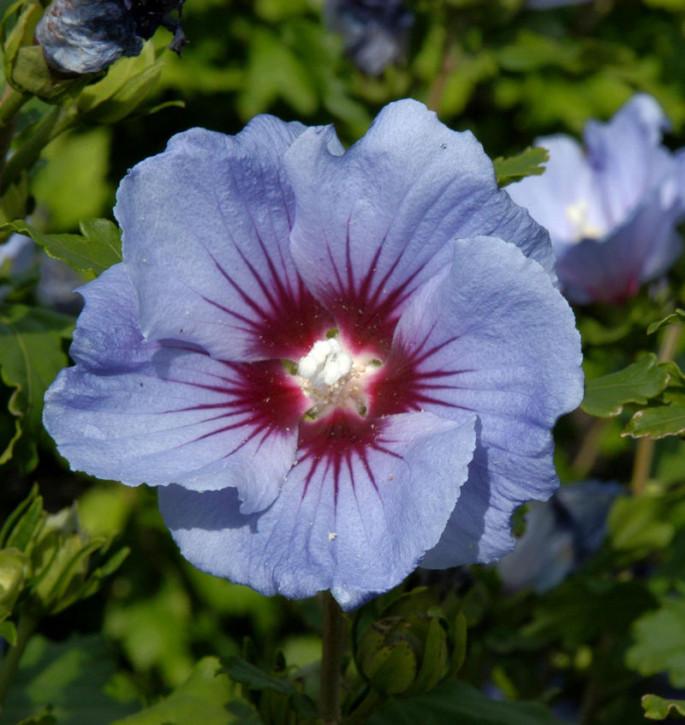 Garteneibisch Coelestis 30-40cm - Hibiscus syriacus